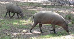 Femelle babiroussa et son petit. Source : http://data.abuledu.org/URI/53ece63f-femelle-babiroussa-et-son-petit