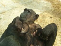 Femelle chimpanzé et son petit. Source : http://data.abuledu.org/URI/502ec10b-femelle-chimpanze-et-son-petit