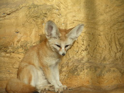 Fennec. Source : http://data.abuledu.org/URI/504f3298-fennec