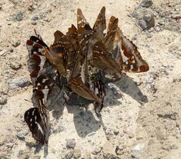 Festin de papillons. Source : http://data.abuledu.org/URI/588cb0a4-festin-de-papillons-
