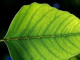Feuille d'arbre. Source : http://data.abuledu.org/URI/47f55b5e-feuille-d-arbre