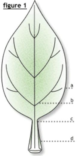 Feuille d'arbre, anatomie. Source : http://data.abuledu.org/URI/47f55b5a-feuille-d-arbre-anatomie