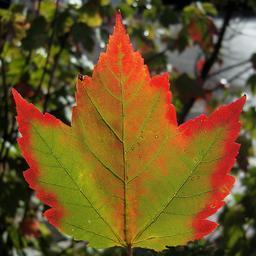 Feuille d'érable en automne. Source : http://data.abuledu.org/URI/51157576-feuille-d-erable-en-automne