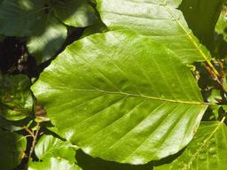 Feuille de hêtre. Source : http://data.abuledu.org/URI/5064b55c-feuille-de-hetre