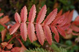 Feuille de sorbier en automne. Source : http://data.abuledu.org/URI/504e5089-feuille-de-sorbier-en-automne