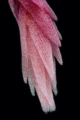 Feuille de sphaigne rouge. Source : http://data.abuledu.org/URI/54b2ddd4-feuille-de-sphaigne-rouge