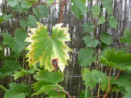 Feuille de vigne en automne. Source : http://data.abuledu.org/URI/5670b451-feuille-de-vigne-en-automne