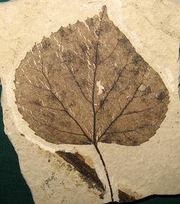 Feuille fossile de tilleul. Source : http://data.abuledu.org/URI/50661849-feuille-fossile-de-tilleul