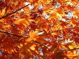 Feuilles d'érable en automne. Source : http://data.abuledu.org/URI/52784ba7-feuilles-d-erable-en-automne