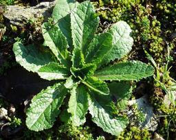 Feuilles de laitue sauvage. Source : http://data.abuledu.org/URI/505793bc-feuilles-de-laitue-sauvage