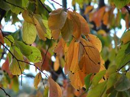 Feuilles de plaqueminier en automne. Source : http://data.abuledu.org/URI/5670b846-feuilles-de-plaqueminier-en-automne