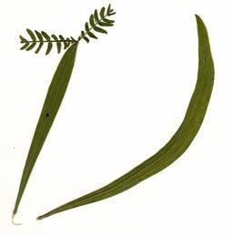 Feuilles de tamarin réunionnais. Source : http://data.abuledu.org/URI/521f98e3-feuilles-de-tamarin-reunionnais