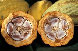 Fèves de cacao dans leur cabosse. Source : http://data.abuledu.org/URI/519800d3-feves-de-cacao-dans-leur-cabosse