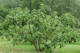 Figuier. Source : http://data.abuledu.org/URI/59090c0d-figuier