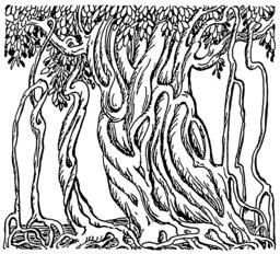 Figuier des banians. Source : http://data.abuledu.org/URI/53b99865-figuier-des-banians