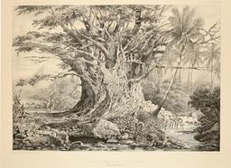 Figuier des îles Marquises. Source : http://data.abuledu.org/URI/598079b3-figuier-des-iles-marquises