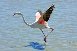 Flamant rose à l'envol. Source : http://data.abuledu.org/URI/527791f6-flamant-rose-a-l-envol