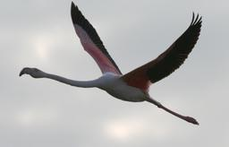 Flamant rose en vol en Camargue. Source : http://data.abuledu.org/URI/52779074-flamant-rose-en-vol-en-camargue