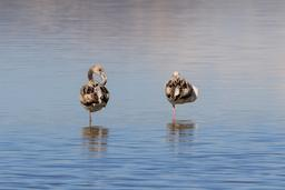 Flamants rose du lac salé de Larnaca. Source : http://data.abuledu.org/URI/58cdfa4f-flamants-rose-du-lac-sale-de-larnaca