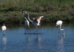 Flamants roses. Source : http://data.abuledu.org/URI/52779103-flamants-roses-