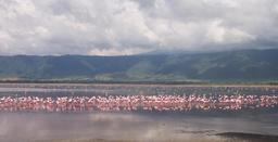 Flamants roses du Ngorongoro en Tanzanie. Source : http://data.abuledu.org/URI/52778a56-flamants-roses-du-ngorongoro-en-tanzanie