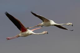 Flamants roses en vol. Source : http://data.abuledu.org/URI/550646b5-flamants-roses-en-vol