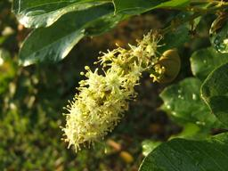 Fleur d'Aki. Source : http://data.abuledu.org/URI/5489f0cc-fleur-d-aki