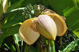 Fleur de bananier nain. Source : http://data.abuledu.org/URI/530f0f5e-fleur-de-bananier-nain
