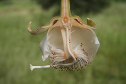 Fleur de baobab. Source : http://data.abuledu.org/URI/52d06e7f-fleur-de-baobab