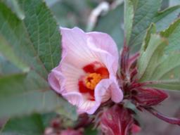 Fleur de bissap au Burkina-Faso. Source : http://data.abuledu.org/URI/5489d6fe-fleur-de-bissap-au-burkina-faso