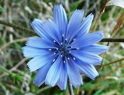 Fleur de chicorée. Source : http://data.abuledu.org/URI/5462089c-fleur-de-chicoree