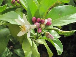 Fleur de citronnier. Source : http://data.abuledu.org/URI/532f07b5-fleur-de-citronnier