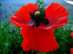 Fleur de coquelicot. Source : http://data.abuledu.org/URI/546bb9ed-fleur-de-coquelicot