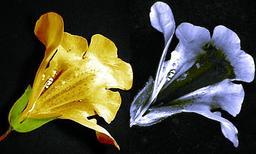 Fleur de mimule ou fleur-singe. Source : http://data.abuledu.org/URI/50a8202a-fleur-de-mimule-ou-fleur-singe