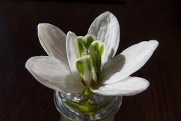 Fleur de perce-neige. Source : http://data.abuledu.org/URI/53ed4ac6-fleur-de-perce-neige