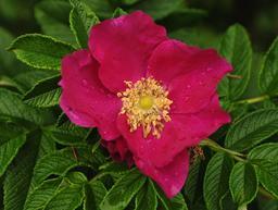Fleur de rosier du Japon. Source : http://data.abuledu.org/URI/5356aeeb-fleur-de-rosier-du-japon