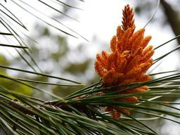 Fleur mâle du pin maritime. Source : http://data.abuledu.org/URI/5342f04e-fleur-male-du-pin-maritime