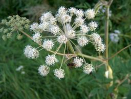 Fleurs d'angélique des bois. Source : http://data.abuledu.org/URI/504f5cb8-fleurs-d-angelique-des-bois