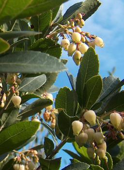 Fleurs d'arbousier. Source : http://data.abuledu.org/URI/518b5e6b-fleurs-d-arbousier
