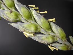 Fleurs de blé. Source : http://data.abuledu.org/URI/534abb3e-fleurs-de-ble