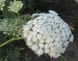 Fleurs de carotte. Source : http://data.abuledu.org/URI/47f5a656-fleurs-de-carotte