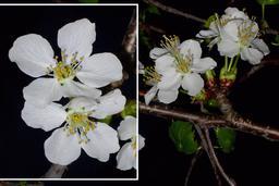 Fleurs de cerisier. Source : http://data.abuledu.org/URI/532c4418-fleurs-de-cerisier
