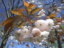 Fleurs de cerisier. Source : http://data.abuledu.org/URI/537d29fb-fleurs-de-cerisier