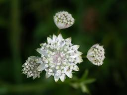Fleurs de grande astrance. Source : http://data.abuledu.org/URI/551ecd8d-fleurs-de-grande-astrance