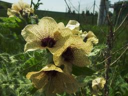 Fleurs de jusquiame noire. Source : http://data.abuledu.org/URI/505df1f0-fleurs-de-jusquiame-noire