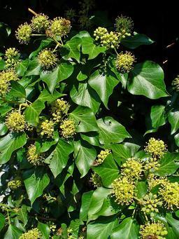 Fleurs de lierre. Source : http://data.abuledu.org/URI/50504424-fleurs-de-lierre
