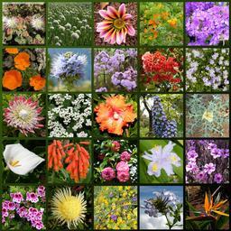 Fleurs de Madère. Source : http://data.abuledu.org/URI/55472f37-fleurs-de-madere