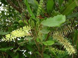 Fleurs de noyer de Macadamia. Source : http://data.abuledu.org/URI/534ad4ba-fleurs-de-noyer-de-macadamia
