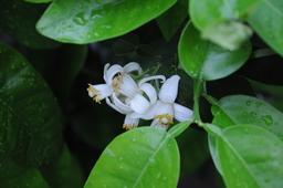 Fleurs de pamplemousse. Source : http://data.abuledu.org/URI/5373134f-fleurs-de-pamplemousse