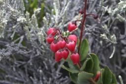 Fleurs de petit bois de rempart réunionnais. Source : http://data.abuledu.org/URI/52284390-fleurs-de-petit-bois-de-rempart-reunionnais